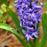 Hello, hyacinth