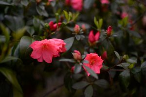 Will the azaleas still bloom?