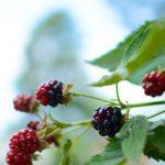 The peak of blackberry season