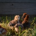 Meet the chicks! <br> By:  Mary